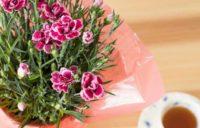 母の日カーネーション鉢植え・枯らさず長く咲かせる手入れ法は?来年も咲かせられるの?