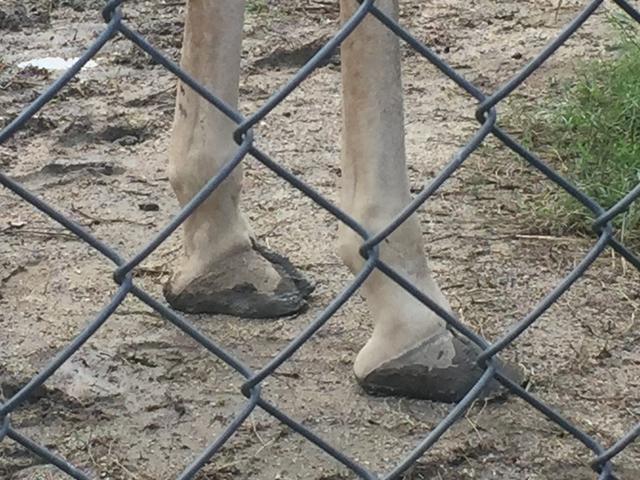 キリン 蹄